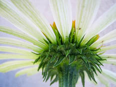 Flower underside