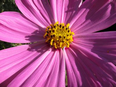 Cosmos pink center