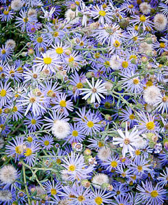 Asters at Chaco vertical