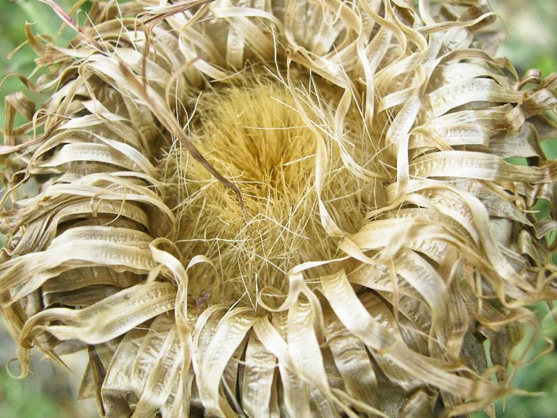 Thistle flower dead 2
