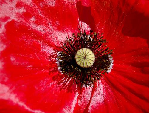 Red poppy center
