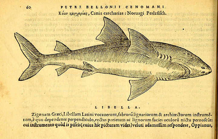 Earliest known published image of a Great White Shark. Pierre Belon. 1553. De aquatilibus duo.
