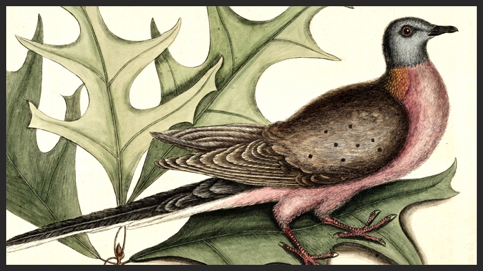 Mark Catesby's 1754 illustration of the Passenger Pigeon is thought to be the first published depiction of the species.