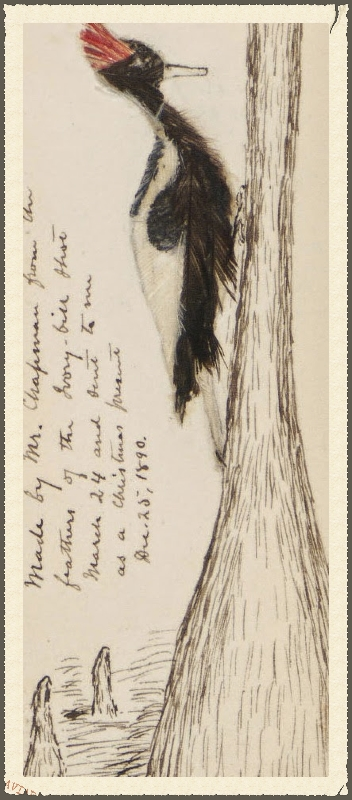 Ivory-billed woodpecker from Brewster's journal of 1890