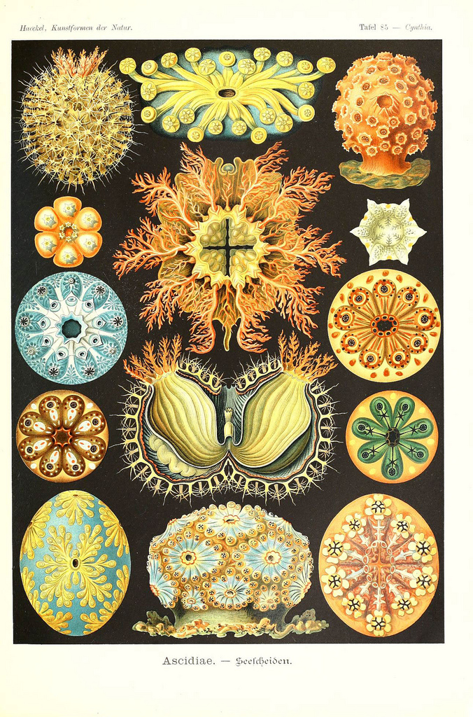 Image from Ernst Haeckel's Kunstformen der Natur.