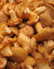 golden chanterelles from peak forest fruit