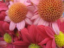 close up shot of pretty pink mums