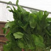 Persephone lettuce