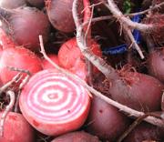 chiogga beets