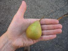 tiny pear