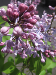 close up of a lilac bloom