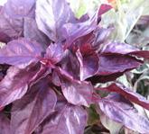 red rubins basil