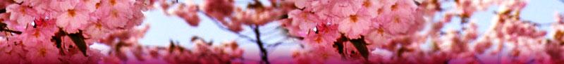 cherry-blossom-banner.jpg