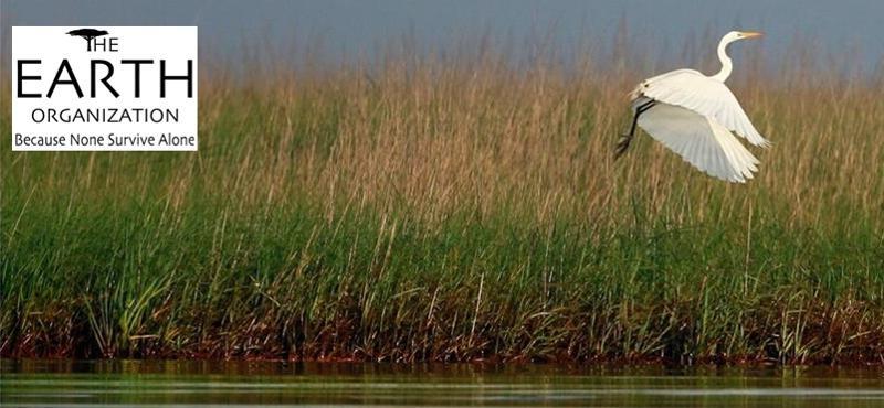 Stork flies over oiled marsh
