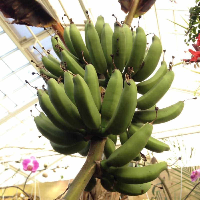 Banana plant - Musa