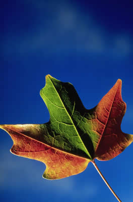 red, green, orange leaf on blue background