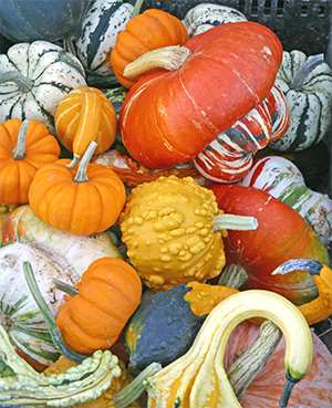 Colorful gourds come in all sizes and shapes