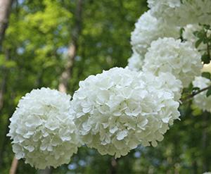 Viburnum macrocephalum flowers