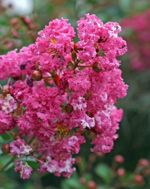 Double flowering crape myrtle