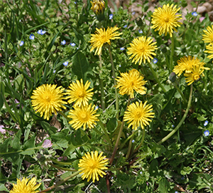 Dandelions are a common broadleaf lawn weed