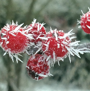 Rime ice on holly berries
