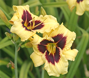 Daylily 'Viette's Eye Shadow'