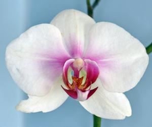 WhitePhalaenopsis
