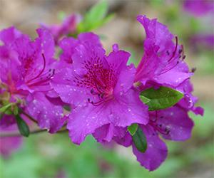 Azalea blooms in May