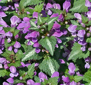 Lamium Makes A Fine Ground Cover For The Shade Or Bright