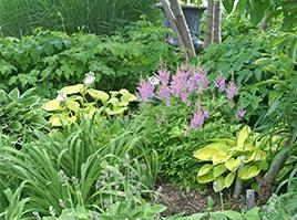 Hosta combine nicely with other wonderful shade perennials such as Astilbe, ferns, and Japanese Anemones.