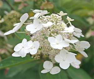 Beautiful bloom of Hydrangea paniculata