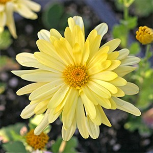 Hardy chrysanthemums come in many colors like this beautiful yellow.