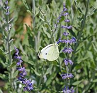 Perovskia has fragrant silvery foliage and vibrant blue flowers.
