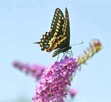 Black Swallowtail butterfly on Buddleia