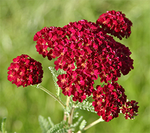 Achillea 'Pommegranate' is an exciting new yarrow variety.