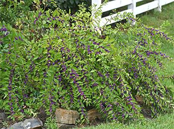 Callicarpa shrub