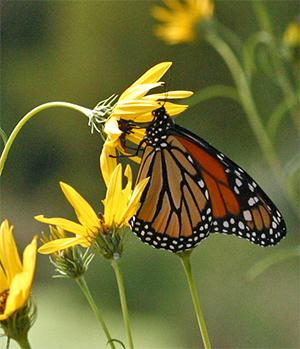 Butterflies flock to Helianthus blooms in the fall.