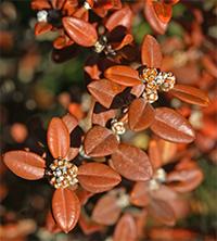 Korean boxwood foliage became bronzy orange during winter.
