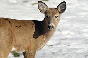 Winter  damage from deer can be devastating to your gardens.