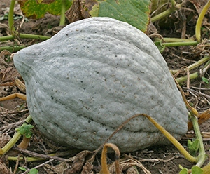 A large blue hubbard squash is great for fall and winter eating