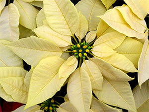 A white poinsettia makes a lovely complement to the red varieties.