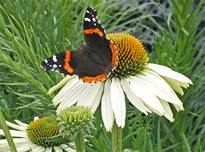 Colorful butterfly on Echinacea 'White Swan'