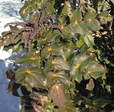 Mahonia bealei in winter
