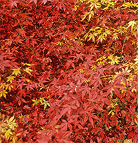 Japanese maples provide brilliant fall color.