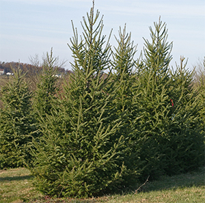 Canaan Firs make beautiful Christmas trees.