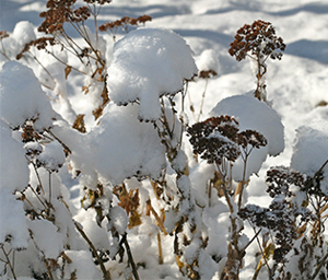dried flowerheads covered with hats of snow