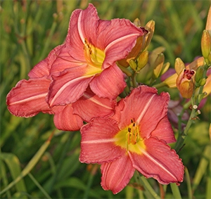 Daylily 'Brilliant Cherry'