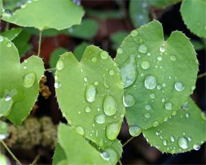 Dainty Epimedium foliage