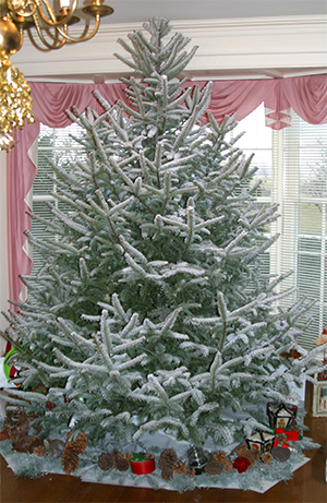the canaan fir makes a beautiful christmas tree andre has flocked this one for his snow tree