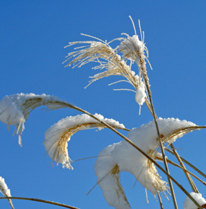 Miscanthus plumes in the snow